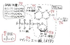 ATPとエネルギー